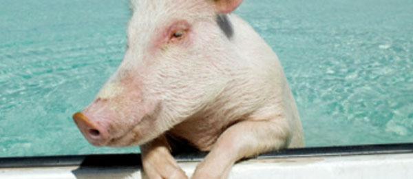 les-porcs-savent-nager